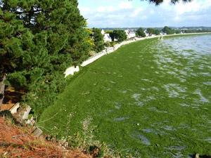 Algues-vertes-capcoz