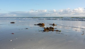 Des algues mais des laminaires sur la plupart des plages