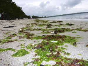 Capcoz algues vertes