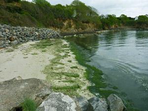 premieres algues vertes à Kerleven
