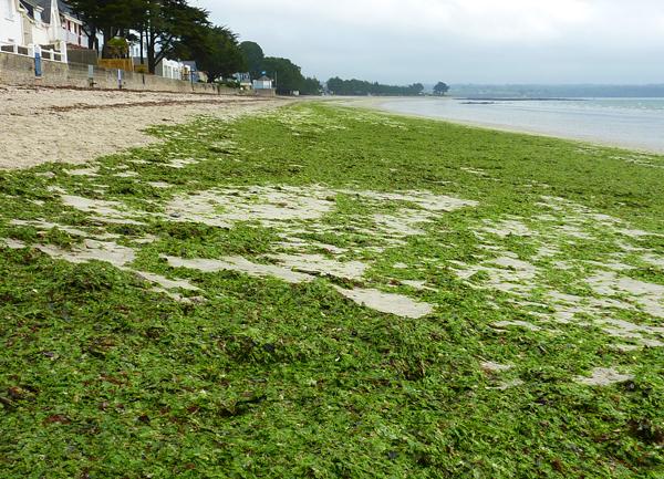 Premières algues bien vertes le 1 avril 2011