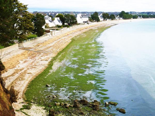 Des algues vertes en février à Cap Coz, du jamais vu !
