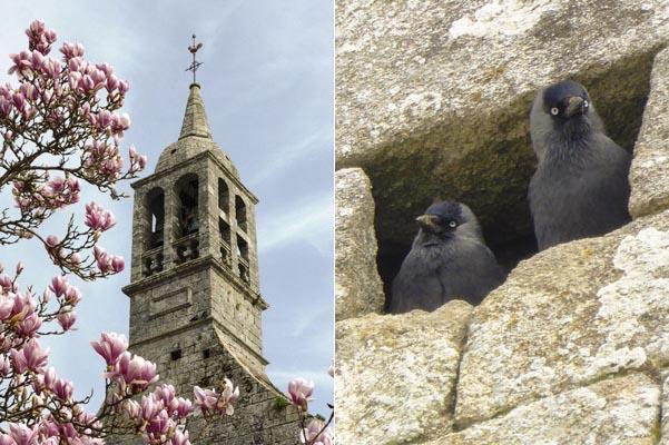Seul le coq là-haut a le droit de partager avec elles cette église, et de plus, elles font des petits !