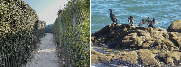 """Question des promeneurs sur le sentier : """"on vient voir les cormorans , mais on ne voit pas la mer en tournicotant derrière ces murs, grillages et hautes haies, elle est à gauche ou elle est à droite du sentier ?""""."""